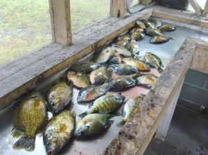 mess-of-sunfish
